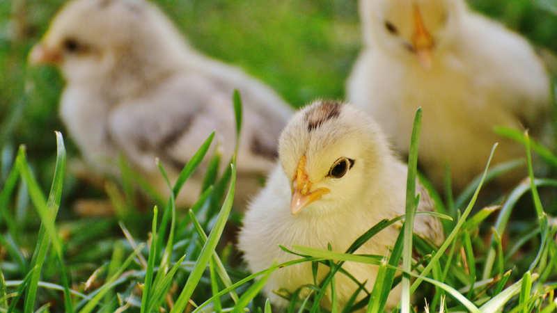 Bonnie's Chick Hatchery Ltd.
